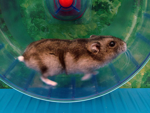 A hamster running in a wheel; photo courtesy Doenertier82